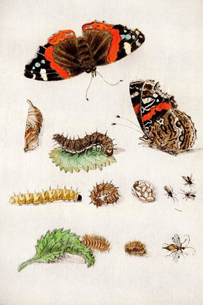 1600s Wall Art - Photograph - 1683 Maria Sybella Merian Metamorphosis by Paul D Stewart
