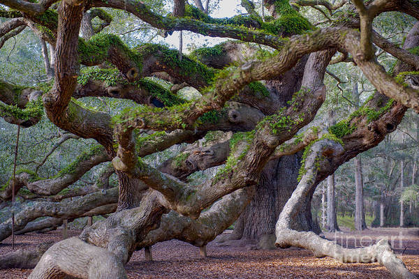 Photograph - Angel Oak Tree Unique View by Dale Powell