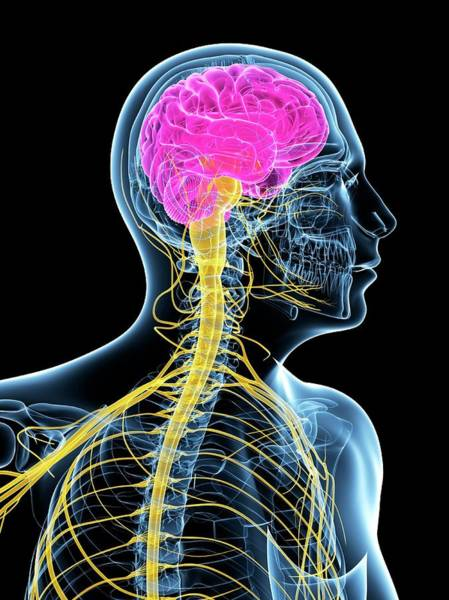 Wall Art - Photograph - Central Nervous System by Sciepro/science Photo Library