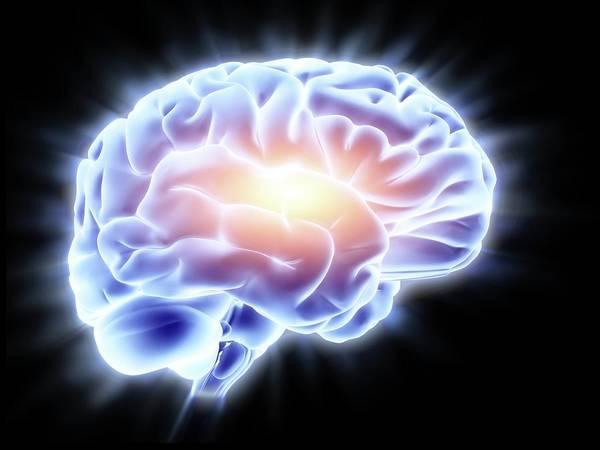 Anatomical Model Photograph - Human Brain by Alfred Pasieka