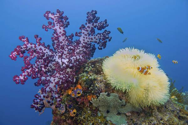 Anemonefish Photograph - Indonesia, Papua, Raja Ampat by Jaynes Gallery
