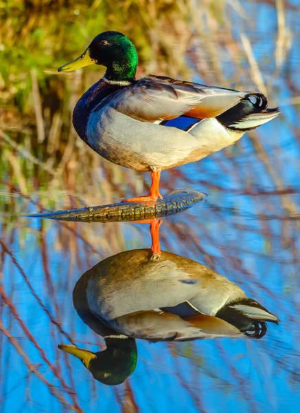 Greenhead Photograph - Mallard Duck by Brian Stevens