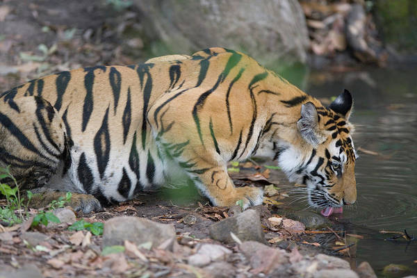 Wall Art - Photograph - 17 Months Old Bengal Tiger Cub Drinking by Theo Allofs