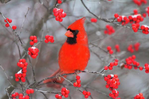 Backyard Bird Photograph - Northern Cardinal (cardinalis Cardinalis by Richard and Susan Day