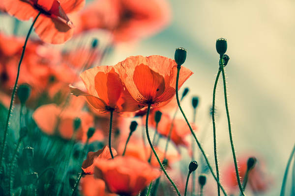 Poppies Photograph - Poppy Meadow by Nailia Schwarz
