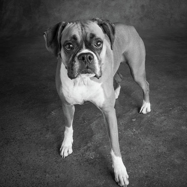 Wall Art - Photograph - Portrait Of A Boxer Dog by Animal Images