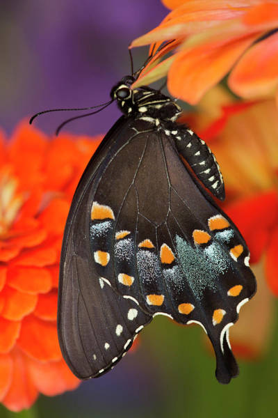 Zinnia Wall Art - Photograph - Spicebush Swallowtail Butterfly by Darrell Gulin