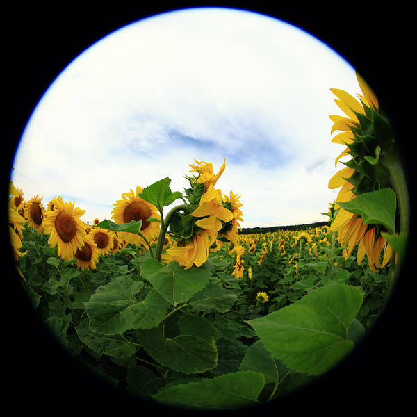 Feld Wall Art - Photograph - Sunflowers by Falko Follert