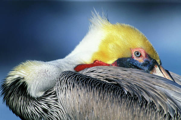 California Brown Pelican Photograph - Usa, California, La Jolla by Jaynes Gallery