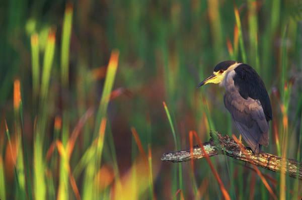 Night-heron Photograph - Usa, Florida, Everglades National Park by Jaynes Gallery