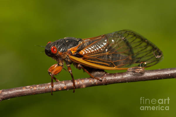 Photograph - 17-year Periodical Cicada I by Clarence Holmes