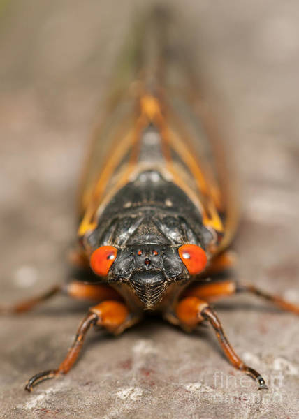 Photograph - 17-year Periodical Cicada IIi by Clarence Holmes