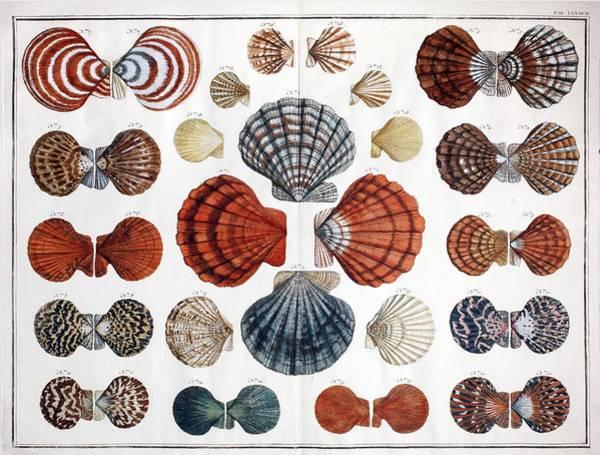 Cabinet Photograph - 1735 Scallop Shells From Albertus Seba by Paul D Stewart