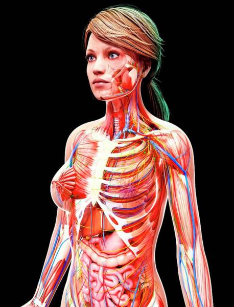 Wall Art - Photograph - Female Anatomy by Pixologicstudio/science Photo Library