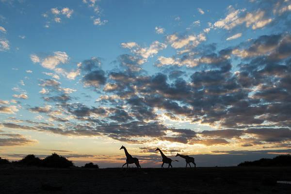 Agile Photograph - Africa, Botswana, Chobe National Park by Paul Souders