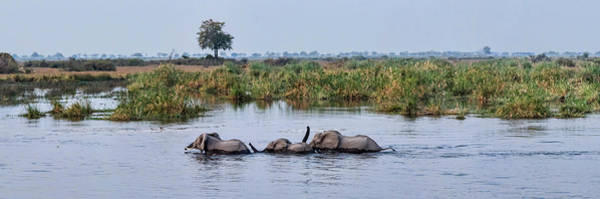 Okavango Delta Photograph - African Elephants Loxodonta Africana by Panoramic Images