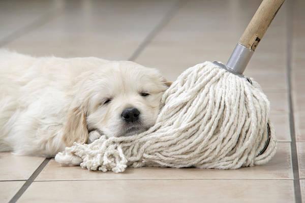 Naughty Dog Wall Art - Photograph - Golden Retriever Puppy by John Daniels