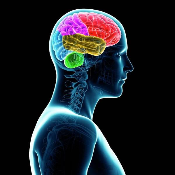Brighter Side Photograph - Human Brain by Sebastian Kaulitzki