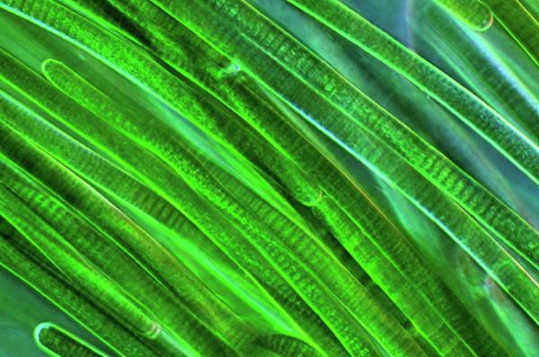 Illuminations Photograph - Oscillatoria Cyanobacteria by Marek Mis