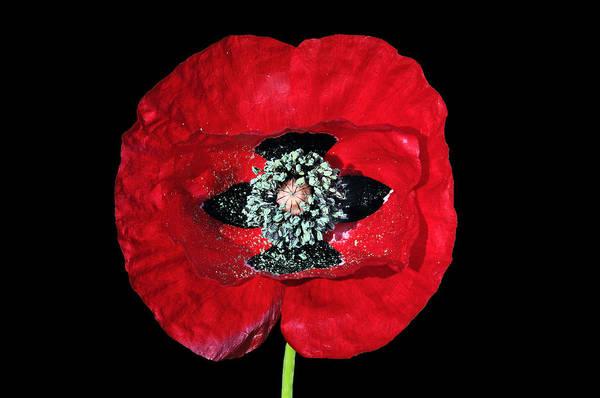 Wild Poppies Digital Art - Poppy Flower by George Atsametakis