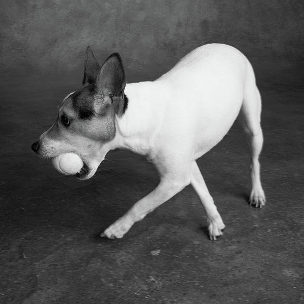 Wall Art - Photograph - Portrait Of A Jack Russell Terrier Dog by Animal Images