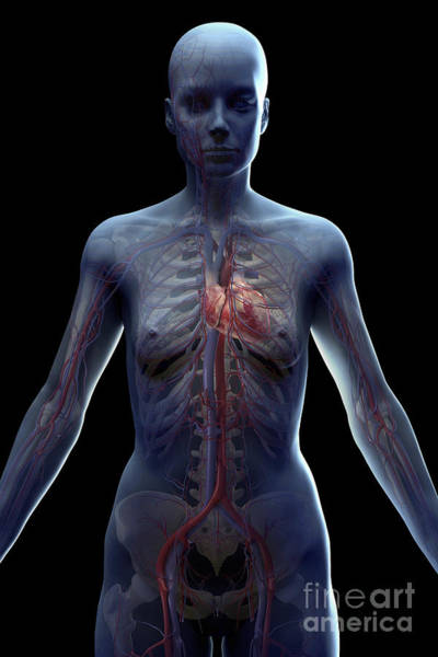 Superior Vena Cava Photograph - The Cardiovascular System Female by Science Picture Co