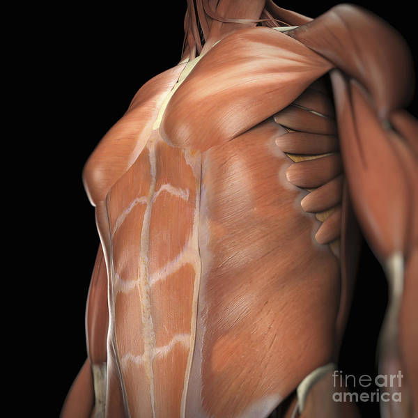 External Abdominal Oblique Photograph - The Muscle System by Science Picture Co