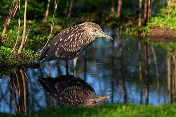 Night-heron Photograph - Usa, California, San Diego, Lakeside by Jaynes Gallery