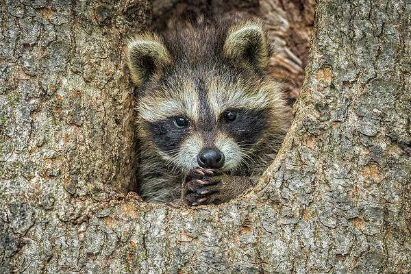 Raccoon Photograph - Usa, Minnesota, Sandstone, Minnesota by Rona Schwarz