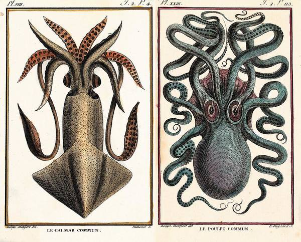 Squid Photograph - 1801 Montfort Squid Octopus Engraving by Paul D Stewart