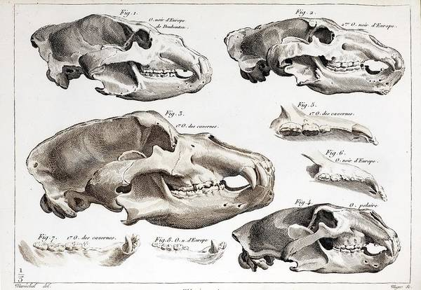 Comparative Anatomy Wall Art - Photograph - 1812 Cuvier Cave Bear & Extant Bear Skull by Paul D Stewart/science Photo Library