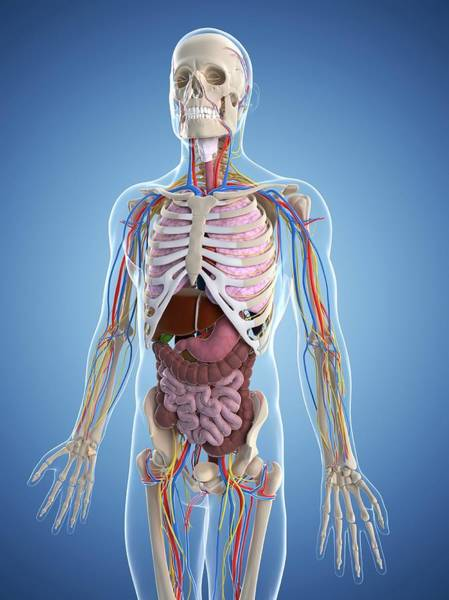 Wall Art - Photograph - Male Anatomy by Sciepro/science Photo Library