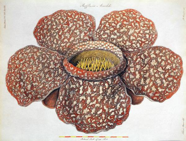 Bauer Photograph - 1820 First Description Rafflesia Flower by Paul D Stewart