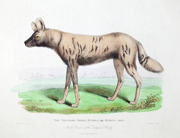 Hyena Photograph - 1830 First African Hunting Dog London Zoo by Paul D Stewart