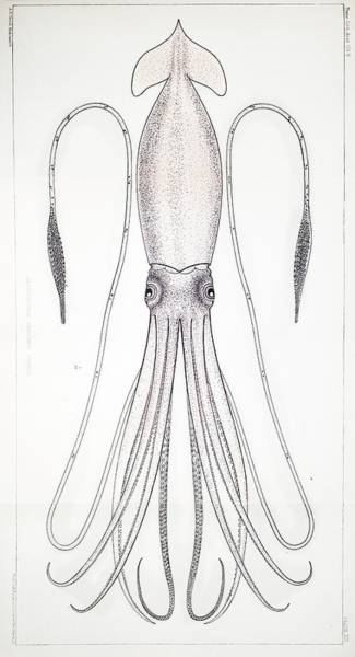 Squid Photograph - 1879 First Science Giant Squid Verrill by Paul D Stewart