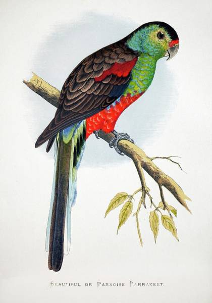 Parakeets Photograph - 1887 Extinct Australian Paradise Parrot by Paul D Stewart