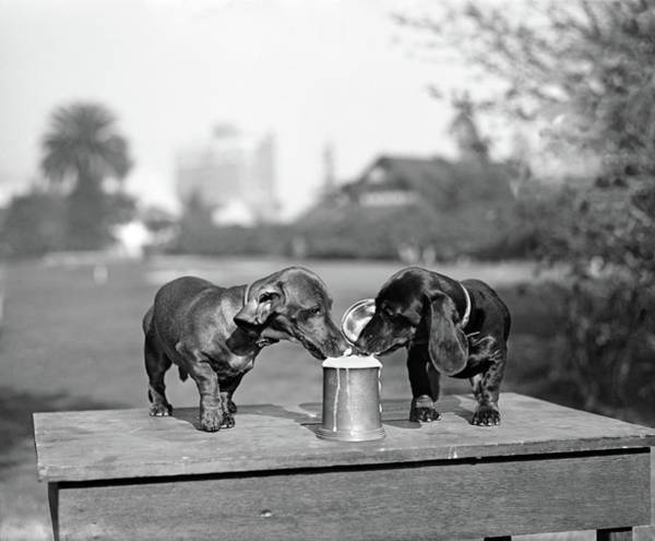 Thirst Photograph - 1890s Two Dachshund Puppies Lapping by Vintage Images