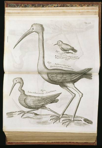 Natural History Photograph - 18th Century Bird Illustrations by Natural History Museum, London/science Photo Library