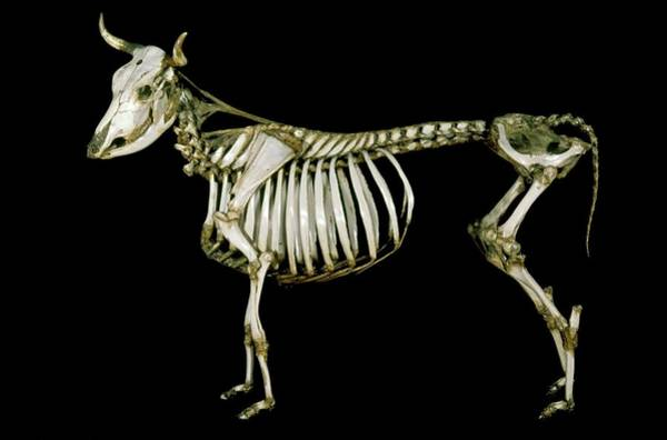 Maison Photograph - 18th Century Cow Skeleton by Patrick Landmann/science Photo Library