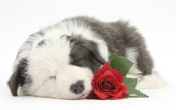 Photograph - Border Collie Puppy by Mark Taylor