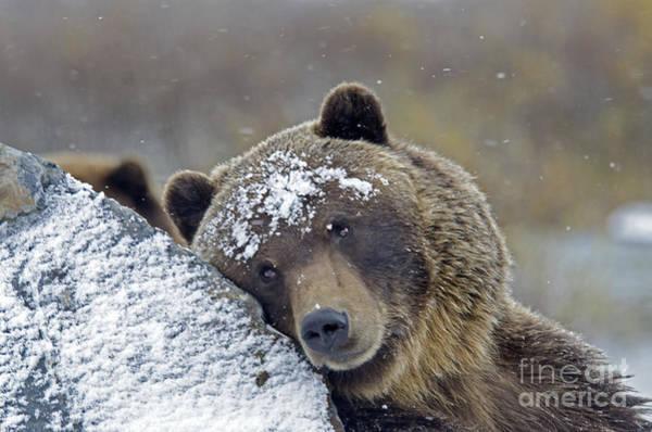 Photograph - Brown Bear by Mark Newman