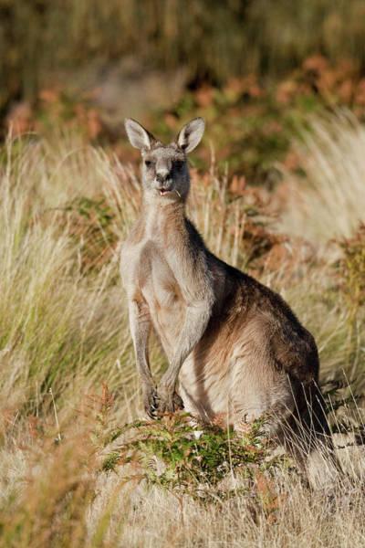 Bulls Island Photograph - Eastern Grey Kangaroo Or Forester by Martin Zwick