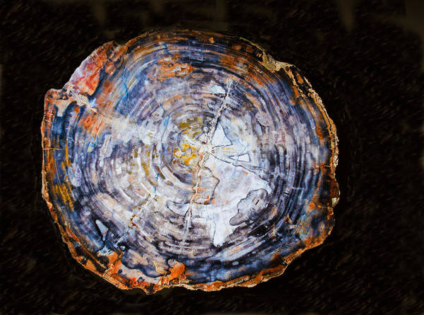 Photograph - Petrified Wood Tree Trunk Section by Millard H. Sharp