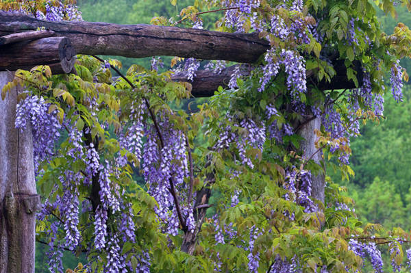 Wisteria Wall Art - Photograph - Usa, Pennsylvania by Jaynes Gallery