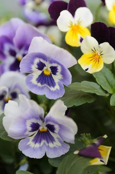 Photograph - Viola Tricolor Heartsease by Michael Goyberg