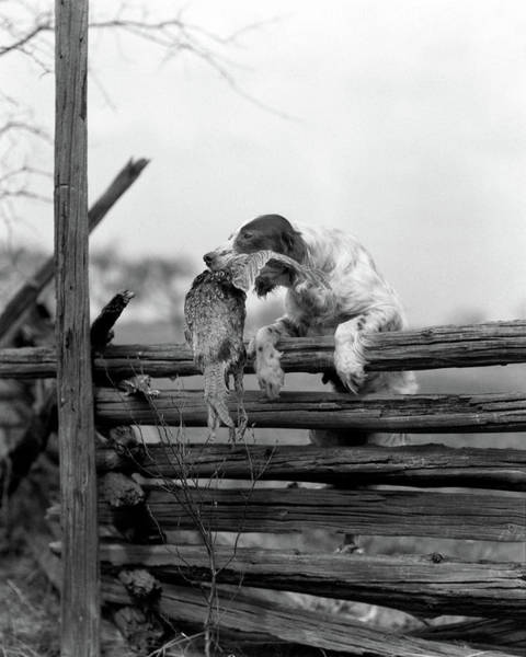 Wall Art - Photograph - 1920s English Setter Dog Climbing by Animal Images
