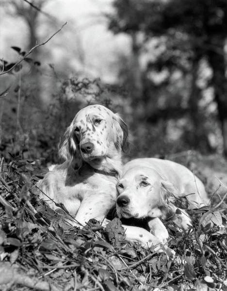 Setters Photograph - 1920s Two Sweet English Setters Laying by Vintage Images