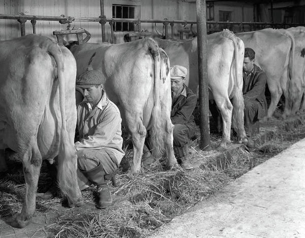 Milk Farm Photograph - 1930s 1940s Three Men Hand Milking by Vintage Images