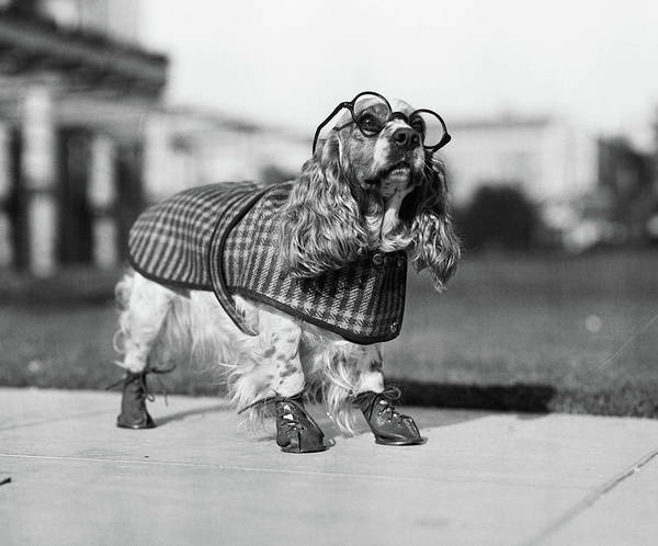 Cocker Spaniel Photograph - 1930s Cocker Spaniel Wearing Glasses by Vintage Images