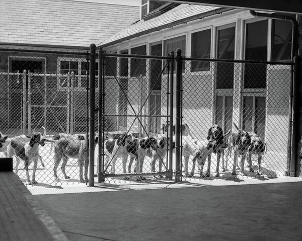 Breed Of Dog Photograph - 1930s Kennel Yard Full Of Foxhound Dogs by Vintage Images